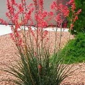 Varetype: red yucca frøStørrelse: medium Farve: røde blomstet  red yucca, frø  Hesperaloe parviflora, også kendt som rød yucca, hummingbird yucca, rødblomst falsk yucca og samandoque, er en plante, der er indfødt i Chihuahuan ørkenen i vest Texas øst og syd i Central og South Texas og nordøstlige Mexico omkring Coahuila.  10 frø