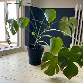 Sælger denne plante med tilhørende Hay potteskjuler. Afhentes på Frederiksberg