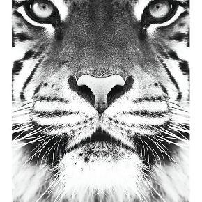 Plakat med tiger fra Desenio. Aldrig brugt, måler 50*70 cm