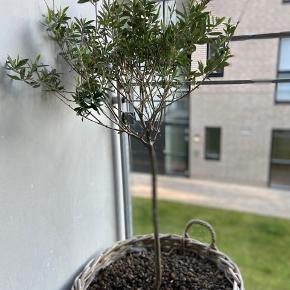 Oliventræ sælges uden kurv.