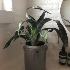 House Doctor plante
