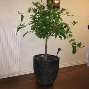 Citrontræ Byd  1.48 cm