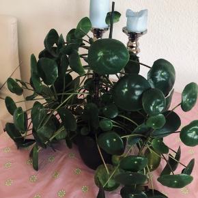 """Kæmpe Pilea plante med potte. SÅ flot og med """"babyer"""", så der kan """"avles"""" flere lækre planter. Kan afhentes i Tranbjerg J"""
