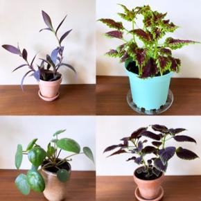 Planter:  - Øverst til Venstre: Vandrende Jøde/Lilla Hjerte. - i lerpotte/underskål ca. 14x15 cm. (lidt slid på potten så den kommer gratis med) 75 kr.   - Øverst til højre: Paletblad i stor turkis plast-potte - ca. 14x16 cm. og glasunderskål, som kommer gratis m. pga. lidt skår: 45 kr.   - Nederst til Venstre: Pilea i keramik ca. 11x8 cm. 50 kr.   - Nederst til højre: Paletblad. 65 kr. inkl. potte/underskål ca. 12x12 cm.  Købes alle 4 planter (235 kr.) får man planterne på billede 3. med. Sælges ikke.    Alle planter er sunde og i god vækst.  Priserne er faste.  Sender og bytter ikke.       Annoncen slettes når solgt, så ingen grund til at spørge om dette 🙂  Useriøse henvendelser frabedes.