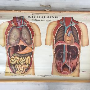 Skøn gammel svensk anatomiplakat fra Røde Kors med træskinner. Har naturlige brugsspor, men er generelt i flot stand.  Selve plakaten måler cirka 100 cm i bredden, og pindene måler 110 cm. Med pindene er den 74,5 cm høj.