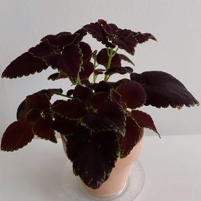 Retro plante