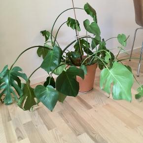 Stor Philodendron Monstera plante til salg - inkl. krukken.