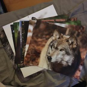 Fantastisk flotte ulve billeder fra gammel kalender. Forskellige størrelser, men godt bevaret.  Personlig kalender på bagsiden, som ikke kan fjernes.  Skriv ved spørgsmål eller flere billeder. Befinder sig i Roskilde