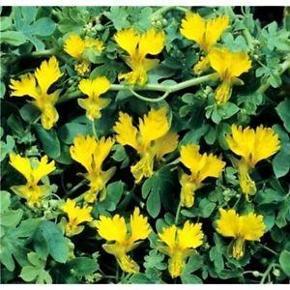 Varetype: NASTURTIUM PEREGRINUM CLIMBING CANARY CREEPERStørrelse: ukend Farve: gul  NASTURTIUM PEREGRINUM CLIMBING CANARY CREEPER  En fantastisk klatring nasturtium sort, der kan nå op til 15ft. Behøver en lidt mere beskyttet stilling end sin almindelige fætter og er bedst i fuld sol. De runde, dybt lobede blade producerer lyse gule orkidélignende dobbelte blomster hele sommeren.  10 frø