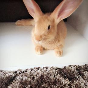 Je vents 2 lapins fauve de burgogne  de 3 mois pur race