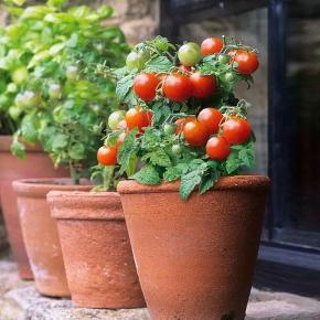 Tomat - red Robin - 10frø En meget kontakt tomat der kun bliver 30cm høj, perfekt det til små altaner, vindueskarme eller andre beholdere. Det er en busktomat der ikke skal knibes og giver røde cherry tomater. Smagen er søde og god, den sætter også frugt ved lavt lys, hvilket også gør den god til at dyrke året rundt.  Hvis man ønsker at dyrke den til udendørs brug skal den skal forkultiveres i Potter indenfor i april og ud slut maj og nattefrosten er ovre. Eller dyrker man den når man ønsker det.  Frøene er pakket i kaffefiltre så de kan ånde.  Gratis forsendelse med b-post. Betaling med paypal, konto overførsel eller mobilepay.