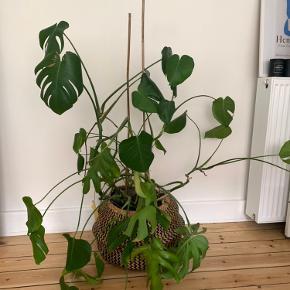 Ikea plante