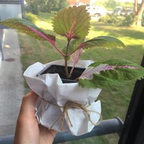 Flot plante af arten paletblad🌴 Stiller man planten i et vindue med sollys bliver de nye blade pink 🌸 Moderplanten ses på det sidste billede.