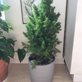 Fint lille grantræ, godt til at plante udenfor. Mål: 70 cm inkl potte