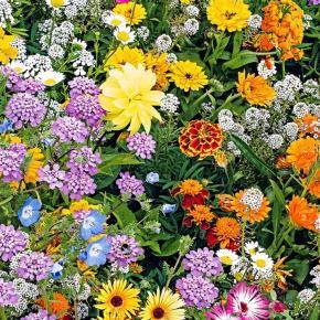 Blomster mix - Sommerfugle & bi Mix - 100frø Dette er en fantastisk (efter min mening) blanding til at tiltrække alle de skønne sommerfugle og bier til haven, samt får vi mennesker også flotte blomster at kigge på mens alle nyttedyrene gør deres job i haven. I disse tider hvor mange af blomster engene bliver fjernet er syn jeg det er vigtig at give dem en hjælpen hånd med på vejen. Det er en blanding af etårig, flerårige samt stauder der bare kommer igen år efter år, det eneste man måske skal gøre er lige at sprede nogen af frøene efter afblomstring men dette klare de for det meste selv.  Selve blandingen bliver max 1 meter høj og der er blomster i alle højder.  De klare sig i alt slags jord, dog ikke alt for tør og man kan både have dem i fuld sol samt halvskygge.  Blandingen indeholder: Håret solhat - staude Kokardeblomst - staude Californisk guldvalmue - sommerblomst Sløjfeblomst - flerårig Sommerasters - sommerblomst Dværg kornblomst - sommerblomst Dværg Atlaskblomst - sommerblomst  Dværg Skønhedsøje - sommerblomst Rød dværg solhat - sommerblomst Langakset pragtskær - staude Hestemynte - staude Purpursolhat - staude Ridderspore - staude Blod salvia - flerårig Sibirisk gyldenlak - staude Biblomme - sommerblomst Dværg lupin - staude  Frøene kan såes i efteråret og spire det kommen forår eller i foråret fra marts til maj.  Frøene er pakket i kaffefiltre så de kan ånde. Gratis forsendelse med  b-post. Betaling med paypal, konto overførsel eller mobilepay.