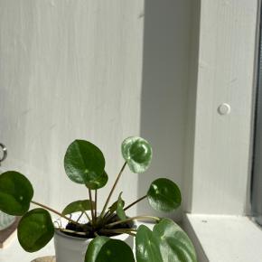 Fine små pilea peperomioides i forskellige potter 🌱 sælges enkeltvis. (Uden potte: 20kr)  *Kan ikke sendes med posten, men kan bringes ud i Københavns området!