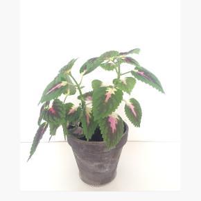 Paletblad plante i ler-potte (som måler ca. 14 x 12 cm.)  Er sund og i god vækst. Kan blive lige så stor eller større som billede 4 og 5 (Sælges ikke)  Fast pris på det nette sum af 65 kr. - med i prisen er underskålen.  Sender og bytter ikke.  Annoncen bliver slettet når solgt, så ingen grund til at spørge om dette.  Useriøse henvendelser frabedes.
