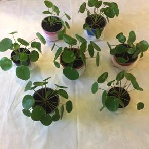 Pilea planter / pengeplanter sælges 1 plante 30kr  Mængderabat er en mulighed.  (Plastpotten som ses på billederne er ca 10cm høj og 13cm dia.)   Afhentning i Valby. Kun seriøse henvendelser, tak 😊