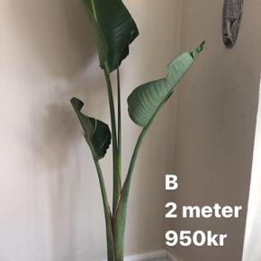 2 meter, super flotte, store blade, nyt skud på vej   Sælger de smukke og populære Strelitzia palmer. De er nemme at holde, vokser hurtigt og giver et tropisk præg til din indretning. De bidrager samtidig med godt indeklima   Pasning: vandes 1 gang om ugen og kan sprøjtes med bestøver  Står de i direkte sol vokser de hurtigt, står de et sted med mindre lys går det knap så hurtigt. Til indendørs.  Bananpalme Palme  Strelitzia  palmer  grøn plante indendørs Palme tropisk plante tropiske planter bloggerplante, blogger plante   Kan kun afhentes   Se evt andre annoncer