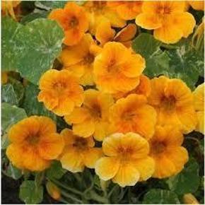 Varetype: blomsterkase alaksa goldStørrelse: små Farve: orange  blomsterkase alaksa gold, frø  Et unikt varieret Nasturtium med grønne sprøjtede hvide tallerkener af blade, der gør en stor løvkontrast med flotte gyldne gule blomster holdt højt over løvet. Bliver under de fleste forhold, især dårlige jordbund og i solrige omgivelser. Store frø er ideelle til børnehaver.  20 frø