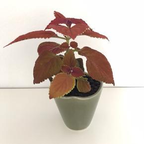 Paletblad plante i lille keramik skjuler, som måler ca. 8x7 cm.  Har nærmest et fløjls agtigt look, er i god vækst og kan blive rigtig stor.  Sælges til fast pris på 35 kr.  Hentes Husumgade på Nørrebro, Kbh.   Bytter og sender ikke.  Annoncen slettes når solgt, så ingen grund til at spørge om dette.  Useriøse henvendelser frabedes