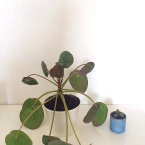 Pilea baby i blå keramik (som måler ca. 4,5x5 cm.) fra Magasin. (se billede 2)   Den store er moderplanten, som er sund og i god vækst. (Sælges ikke)  Fast pris.  Mødes og handle på Nørrebro i området: Jægersborggade, Stefansgade og Runddelen.  Sender og bytter ikke.    Annoncen slettes, hvis solgt.