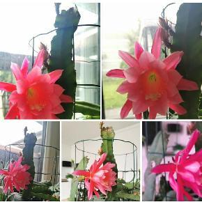 Blad med stor blomster fik jeg at vide. da jeg fået 10 stykke. Sælges til 100kr en aflægger  Og lille et blad 75kr.  Stor med flere på 150 kr.  Og 200 den længste