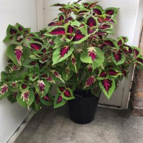Stor flot paletblad plante i sort plast potte som medfølger.