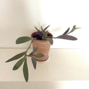 'Vandrende jøde/lilla hjerte' plante i flot ler urtepotte som måler ca. 13x12 cm. med flere små skud. Uden underskål.  Planten kan blive rigtig stor og selvom det er en hænge plante, kan dén nogengange skyde opad som ses på billede 2. - samt er den ikke nærig med nye skud og kan også blomstre nogen gange, se billede 3. - om sommeren når den får sol, bliver den mere lilla i bladene, se billede 4.  Fast pris.  Mødes og på Nørrebro et sted ved området: Runddelen, Stefansgade og Jægersborggade.   Bytter ikke.