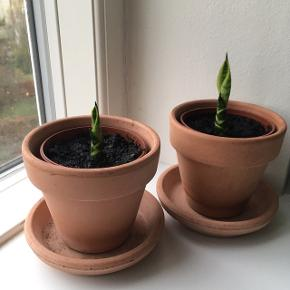 Svigermors skarpe tunge/bajonet plante skud. Super nem plante. Pris inkl. terracotta potte 35 kr Pris u. potte 25 kr