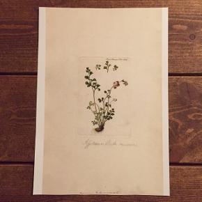 Flora Danica plakater 🌸🌿Passer i ramme 30x21.  Se flere fine motiver på min profil.  Kan sendes for kun 9 kr. via postnord.