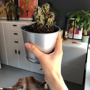 Sød kaktus byd