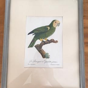 Gammel plakat af papegøje.  Mål:  Ramme 32 x 42 cm Plakat 15,5 x 21,5 cm
