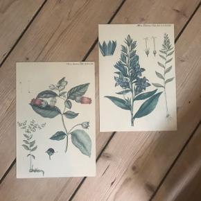 Smukke flora Danica billeder. Jeg har selv taget dem ud af deres originale rammer - så derfor sælges de uden. 100kr for begge 🌟  Mål: 17x24,5   🌴Sender gerne! Få billig Porto via Tradonos handelssystem🌴