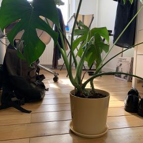 Hay plante