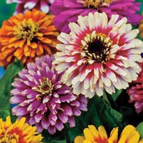 Varetype: Frø Størrelse: - Farve: Ukendt  Dette er en af mine yndeligs sommer blomster. Jo mere man skær af jo flere knopper sætter den, den blomstre fra juni til oktober. Den bliver ca 60cm høj - nogen vil også kende den som frøkenhat. Kaktus agtige blomster med mange forskellige farver - virkelige flotte i haven og bier samt sommerfugle er vilde med dem. Jeg forspire indenfor i marts-april måned og planter ud i maj men man kan også så direkte på friland i maj. Frøene er pakket i kaffefiltre så de kan ånde. Gratis forsendelse med  b-post. Betaling med paypal, konto overførsel eller mobilepay eller ts