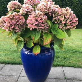 Stor flot krukke med plante. Højde på krukke 50 cm.