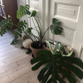 Stor monstera plante. Krukken er med i købet!