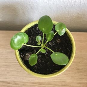 Lille pilea-stikling inkl. potte NB: Der er et lille skår i potten, se billede 3