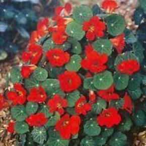 """Varetype: blomsterkarse EMPRESS OF INDIAStørrelse: blandet Farve: rød  blomsterkarse EMPRESS OF INDIA, frø  En klassisk viktoriansk nasturtium med mørkblå-grønne blade. Brilliant crimson blomster på 12-14 """"planter. Passer til beholdere. Blomsterne og blade er en pebery tilsætning til salater, pastaer eller bruges som garniture. Hardy årligt. Let at dyrke.  10 frø"""