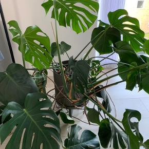 """Stor Monstera, """"bloggerplanten"""".🌿🌱   En meget nem plante at passe, den må ikke få direkte sol, men den må heller ikke stå for mørkt.🌗  Den vokser helt enormt meget, især til den ene side, så man skal lige sørger for at vende den en gang imellem.    Sælges UDEN potteskjuler.   Afhentes i Århus V."""