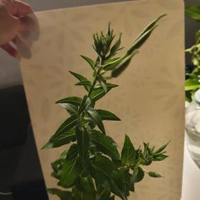 Meget smuk Gul blomster. Kl 8 blomst.   300 kr  Der er kom meget blomster på planter nu.den harfået for en uge sigen og har giv ny som i kan se   Billedet gul blomst for at vise dens skønhed. Høj sund frisk.  Afh tåstrup