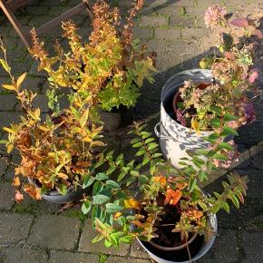 Efterår er plante tid  her får du nyt til en smuk have, fyld en trillebør for 200 kr.  mange forskellige stauder  Sælges til fordel for rent vand i Afrika 💧💧💧 Skriv for en aftale 30205175 - skriv evt hvad du søger