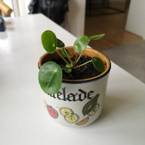Pilea med retro potte