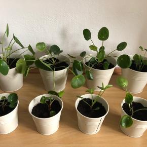 Små og store Pilea planter med potteskjuler.  Små 20 kr Store 40 kr
