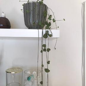 """Sælger stor plante """"hjerter på snor"""". Moderplante til den lille jeg sælger. Den er lige blevet trimmet da den ellers bliver meget lang, meget hurtigt. Denne har også nye skud og har trivsels-knopper som har klippes af og plantes i jord for at lave flere planter. Super smuk og nem plante. Cirka 2 år gammel. Vandes hver anden uge. Kan sælges med potte"""