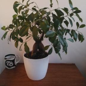 Stor plante med urteskjuler. Jeg kan ikke huske hvad den hedder 😊