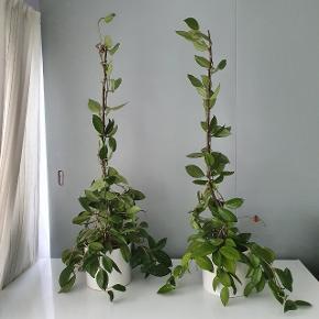 Planter 1000 kr for 2 sjældent blomster huya. Beige farver. Kravler meget høj nu og lang.  Afh tåstrup  billeder med blomster er et eksempel. Men det er beige farver