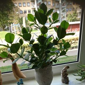 Smuk høje Clusia plante nem at holde.1 er over 50 cm høj.  Uden krukker  Den på over 60 cm er solgt