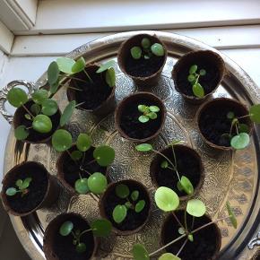 Pilea stiklinger i nedbrydelig potte med jord i, lige til at plante i en anden potte uden at fjerne den nedbrydelige potte.  Pilea skud, 1 for 25kr, 2 for 40kr, 3 for 60kr
